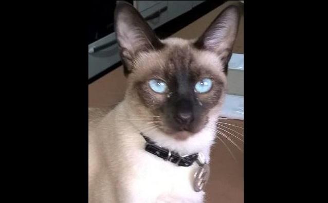 Desde el lunes pasado que están buscando a un gato llamado Rayo, cuya fotografía acompañamos.