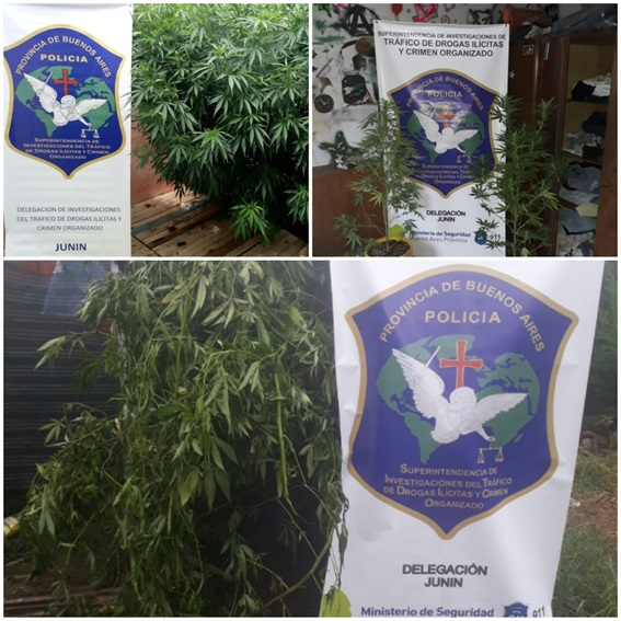 La Delegación Departamental de Investigaciones del Tráfico de Drogas Ilícitas y Crimen Organizado Junín, a cargo del subcomisario Juan Pablo Tejedor, recibió denuncias anónimas donde se ponía en conocimiento de que en tres viviendas de la ciudad de Rojas existirían plantas de marihuana.