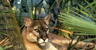 Pumas en la región: El Gobierno provincial comienza un relevamiento en zonas rurales