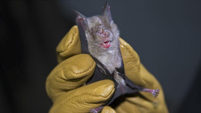 La Dirección de Bromatología del Municipio de Rojas, dependiente de la Secretaría de Salud, informó que por segunda vez ha dado positivo uno de los estudios de rabia realizados a un murciélago que fue encontrado en un hogar de Rojas.