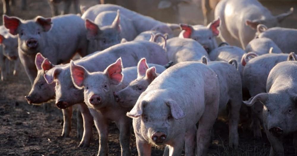 Posible acuerdo porcino con China.