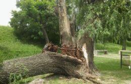 Cayó parte del tronco de un árbol de gran tamaño en la Pista de la Salud