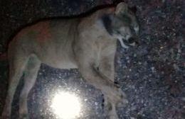 Denuncian la muerte de un puma en la Ruta 30