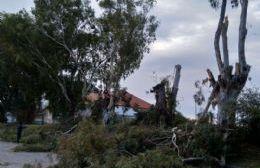El Municipio comenzó con la extracción de los añosos árboles de calle Hilario Lagos