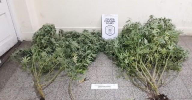 Allanamientos en los Barrios Progreso y Unión por plantas de marihuana