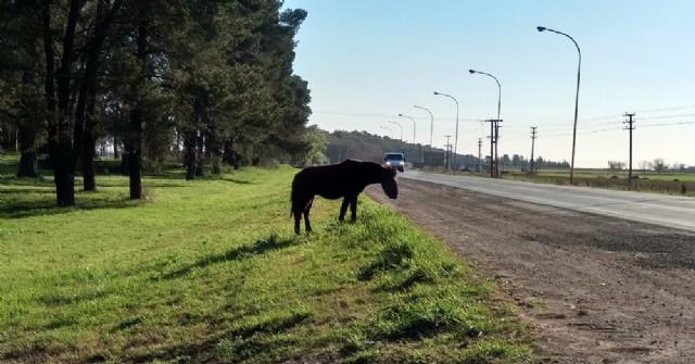 Caballos sueltos a la vera de la Ruta 188: Intervención policial evita posibles hechos desgraciados