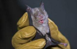 Segundo caso positivo de rabia en un murciélago